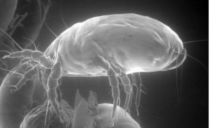 Interesting photos of adult house dust mites